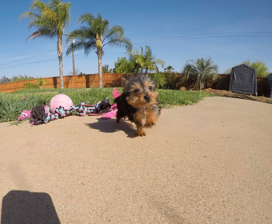 TINY Female ACA Yorkie puppy !! 4