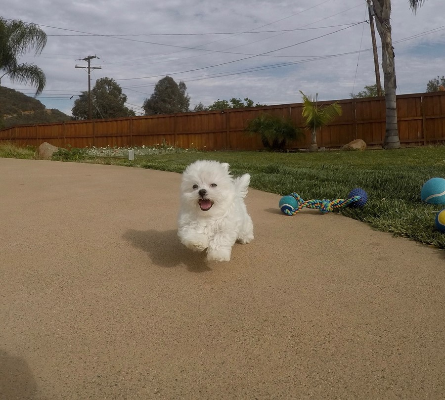 Super tiny male ACA Maltese puppy !! 3