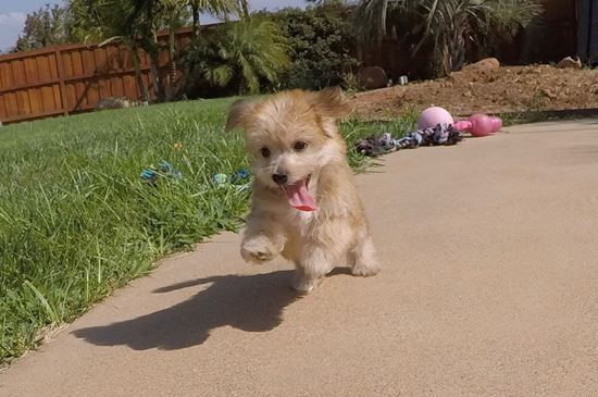 Adorable Male Morkie Designer Puppy!! - 9 week old Morkie