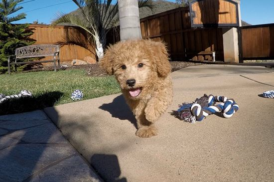 Adorable Mini GoldenDoodle puppy!!!  - 11 week old Mini Goldendoodle