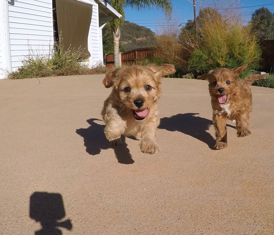 Adorable male Cavapoo puppy !! 1