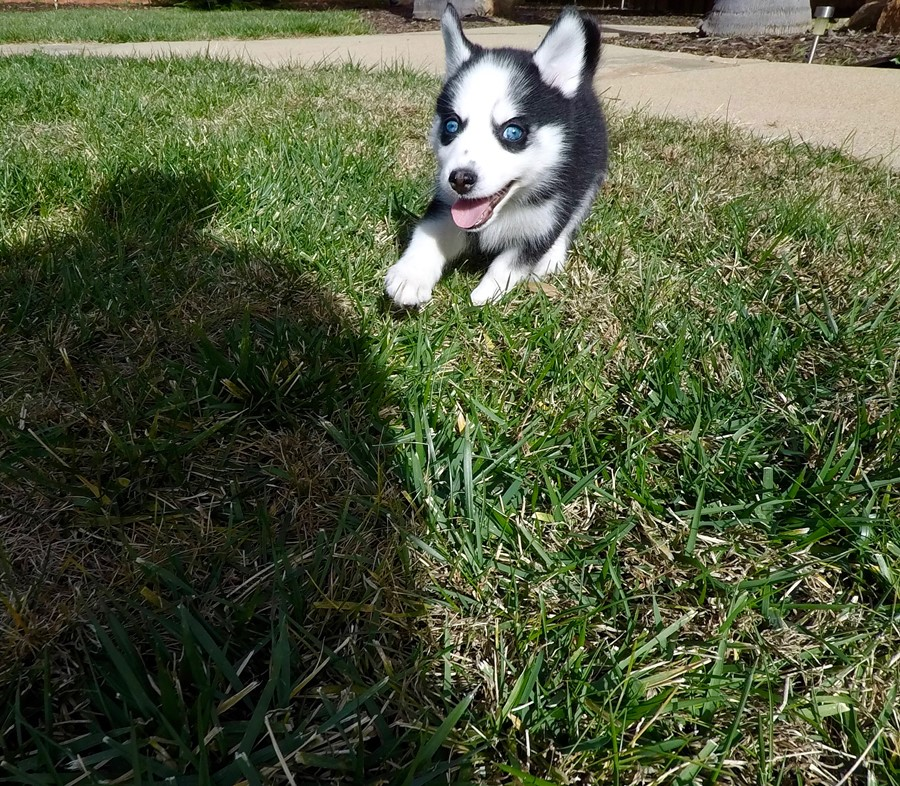 BLUE EYED female Pomsky puppy! 3