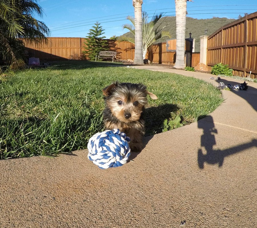 PERFECT male ACA Yorkie puppy!! 2