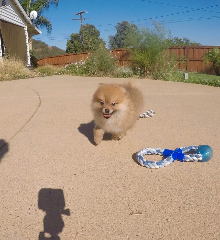 perfect male ACA Pomeranian puppy!! 4