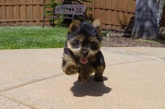 Adorable male ACA Yorkie puppy!! - 10 week old Yorkshire Terrier
