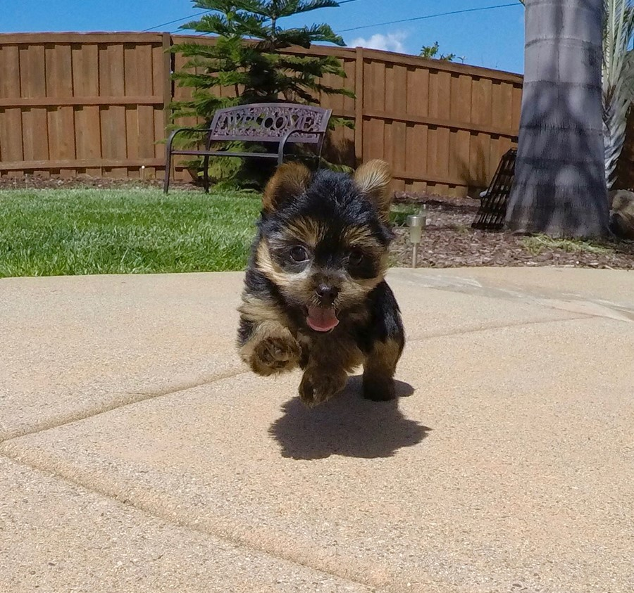 Adorable male ACA Yorkie puppy!! 1