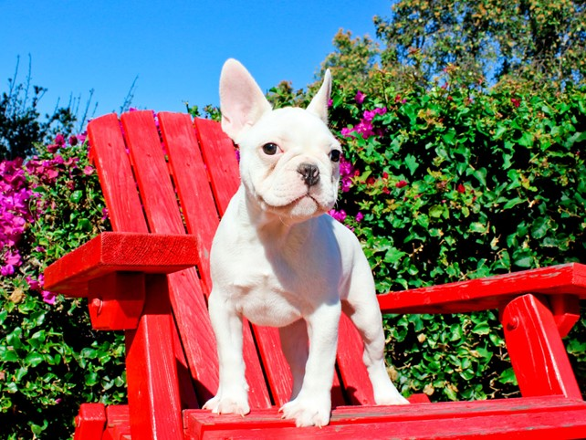 Blanca is our stunning Female French Bulldog