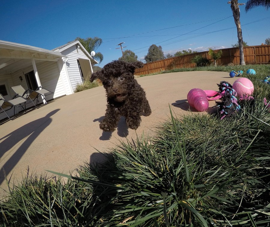 Tiny AKC Toy Poodle puppy !! 6