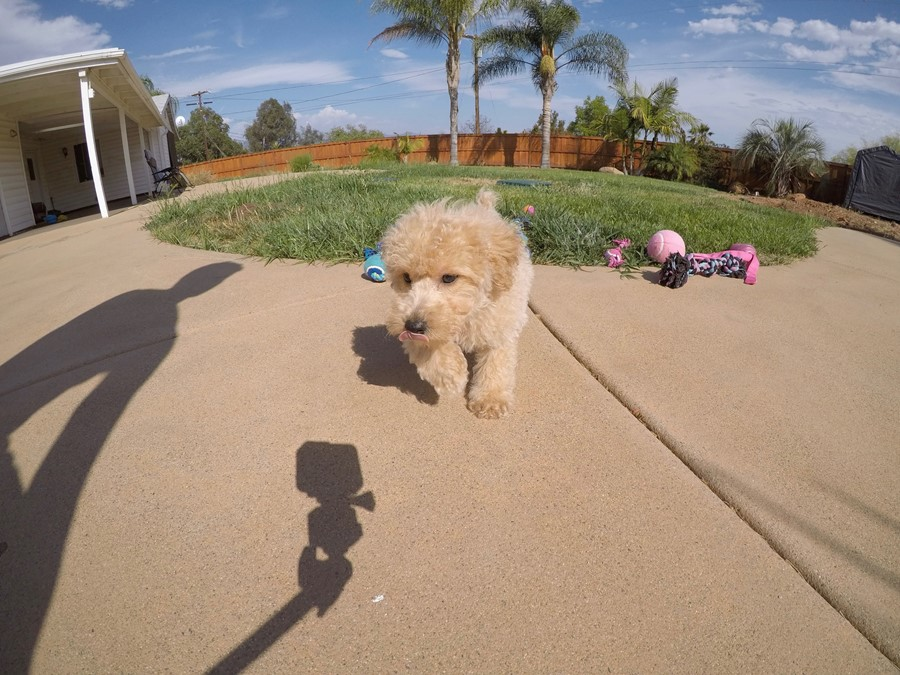 Super cute Male CavaPoo Puppy!! 7