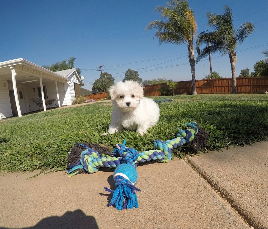 Male AKC Maltese puppy !! 3