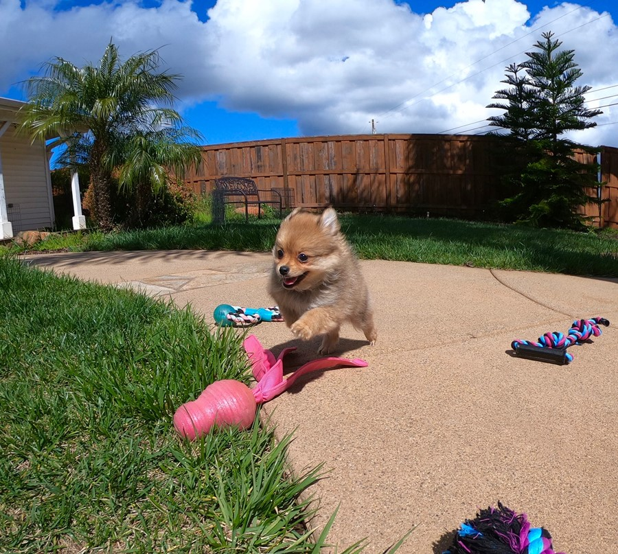 Super cute Pomeranian puppy !!! 3