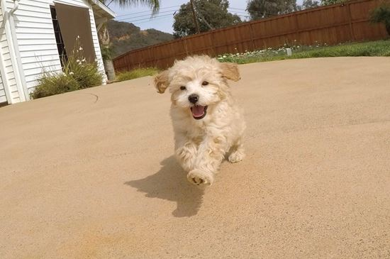 Female Mini Goldendoodle puppy !!  - 11 week old Mini Goldendoodle