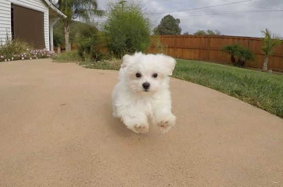 Super Cute ACA Maltese Puppy !! - 30 week old Maltese