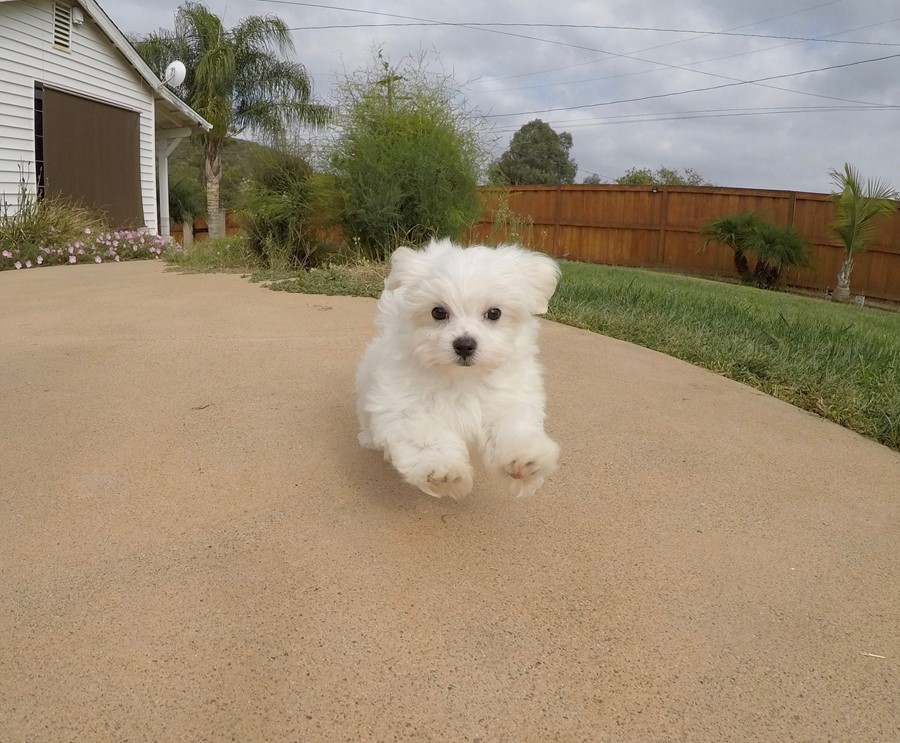 Super Cute ACA Maltese Puppy !! 1