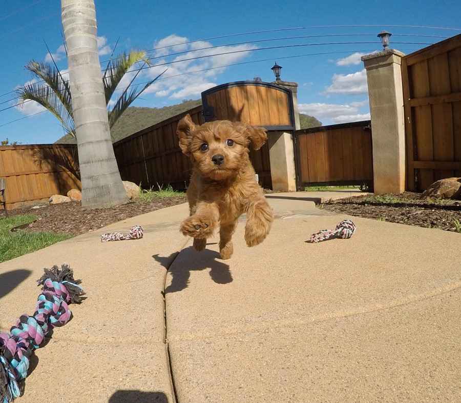 PERFECT CavaPoo designer puppy! 9
