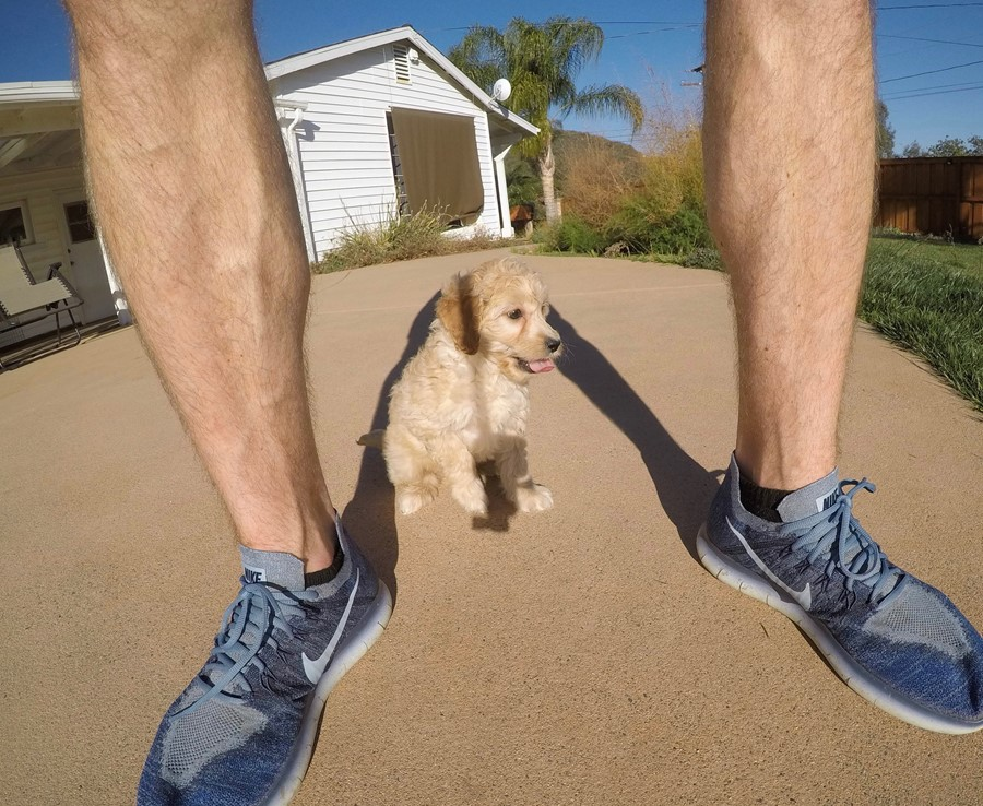 Male Mini Goldendoodle puppy !! 4