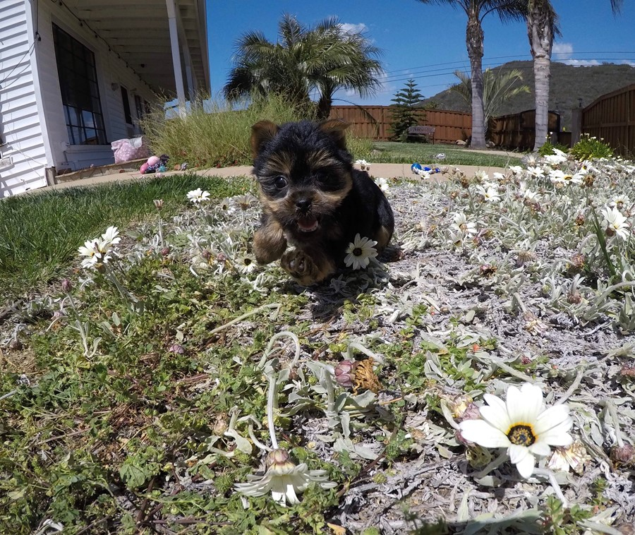 Adorable male ACA Yorkie puppy!! 5