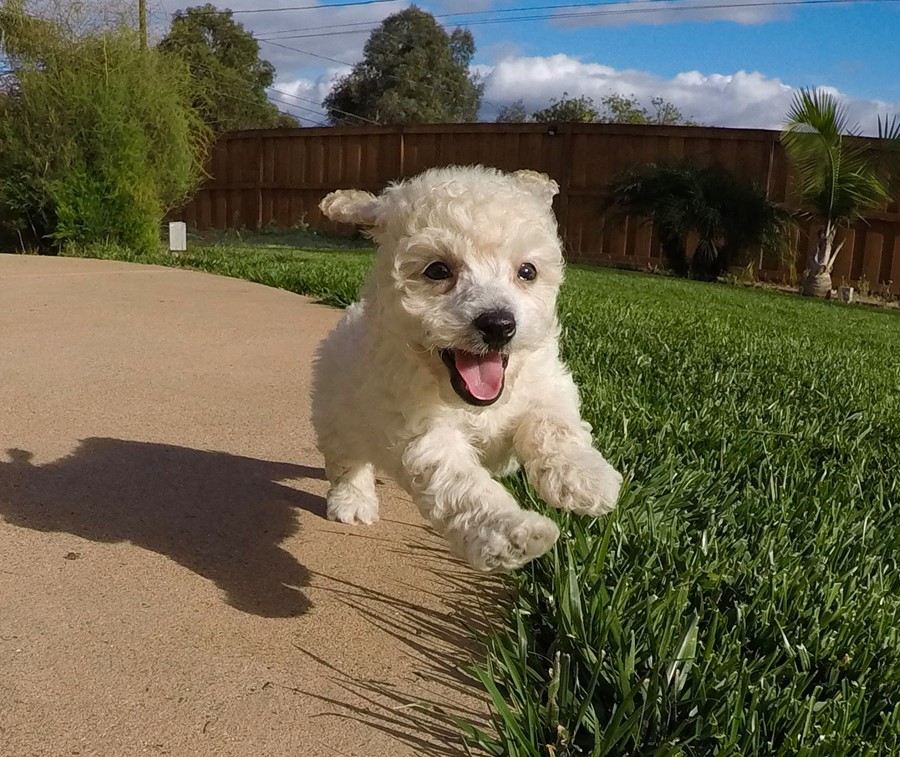 PERFECT male Cavapoo puppy !! 10