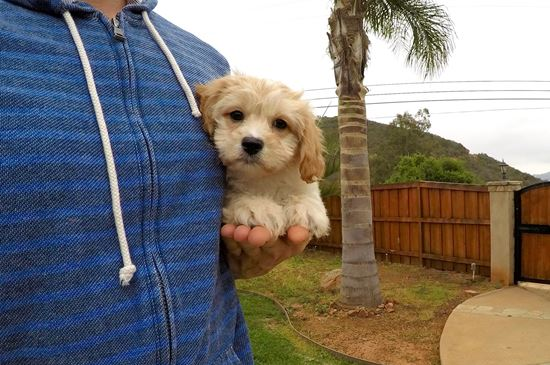 Male CavaChon designer puppy !! - 9 week old Cava Chon