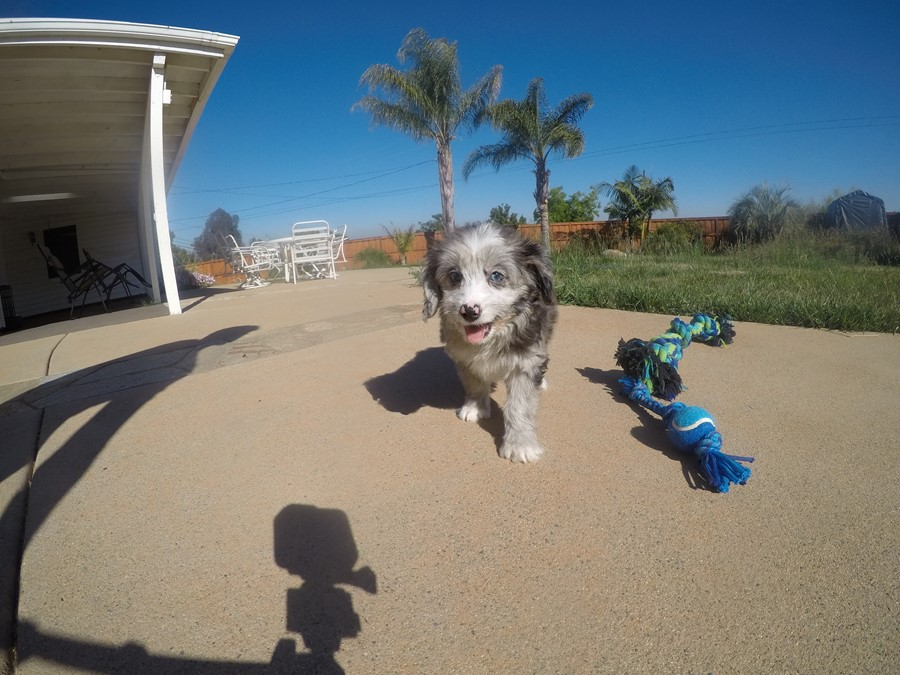 Male Mini AussiePoo Designer puppy!!  11