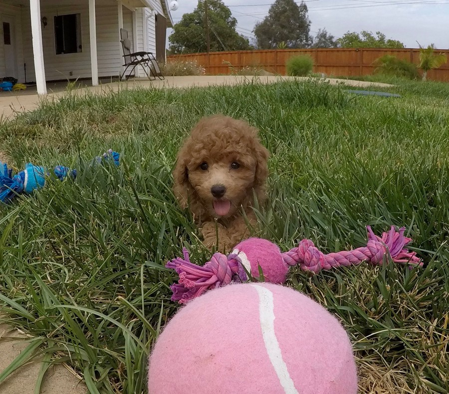 Adorable female CavaPoo puppy! 8