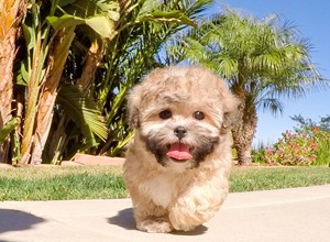 AKC Malti Poo Puppies For Sale in California, San Diego, Southern CA