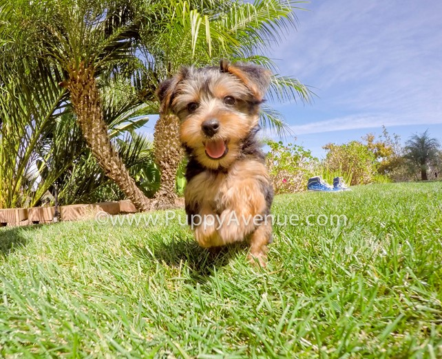 Selah is our super sweet AKC Yorkshire Terrier Female Pup