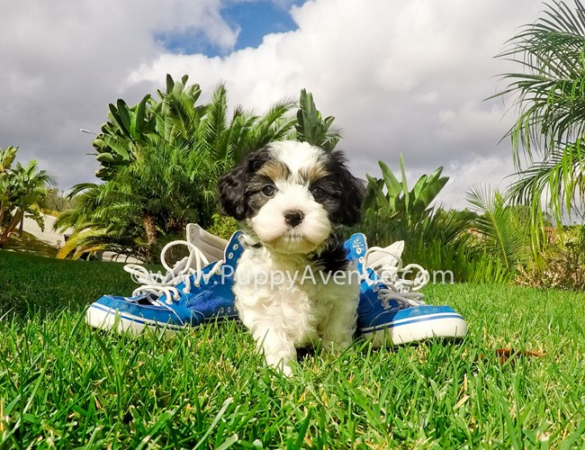 Skittles is our adorable CavaChon Hybrid Female Puppy 1