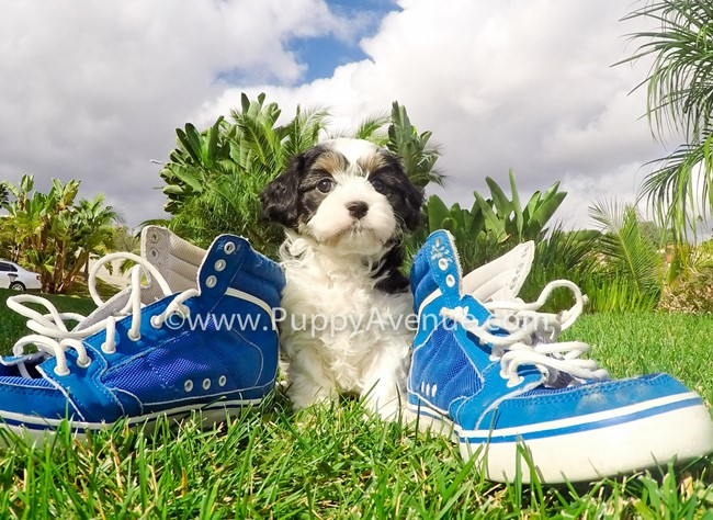Skittles is our adorable CavaChon Hybrid Female Puppy 5