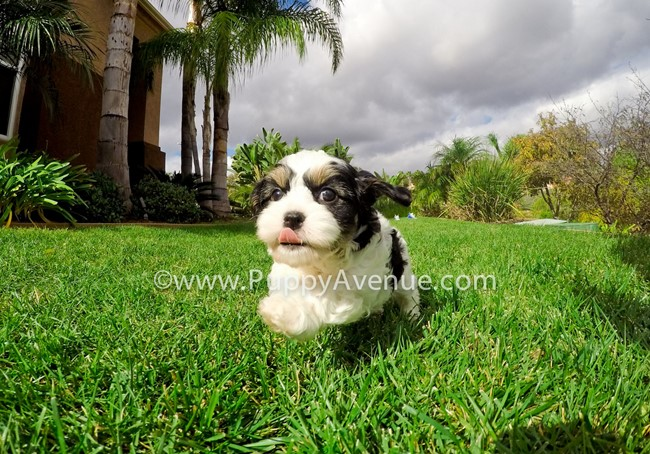 Skittles is our adorable CavaChon Hybrid Female Puppy 6