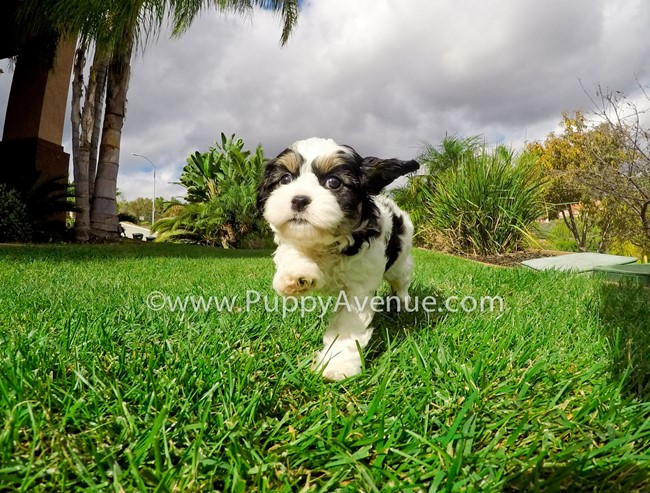 Skittles is our adorable CavaChon Hybrid Female Puppy 7