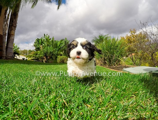 Skittles is our adorable CavaChon Hybrid Female Puppy 8