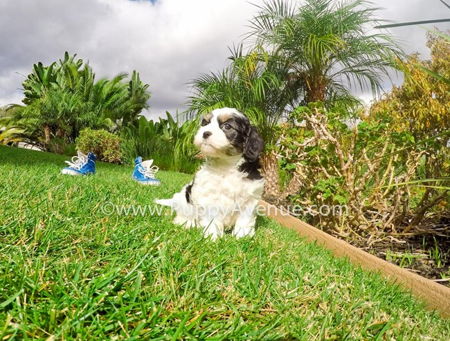 Skittles is our adorable CavaChon Hybrid Female Puppy 9