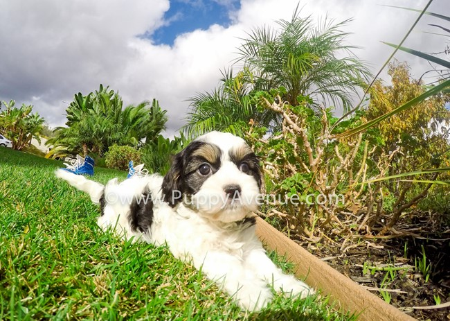 Skittles is our adorable CavaChon Hybrid Female Puppy 10