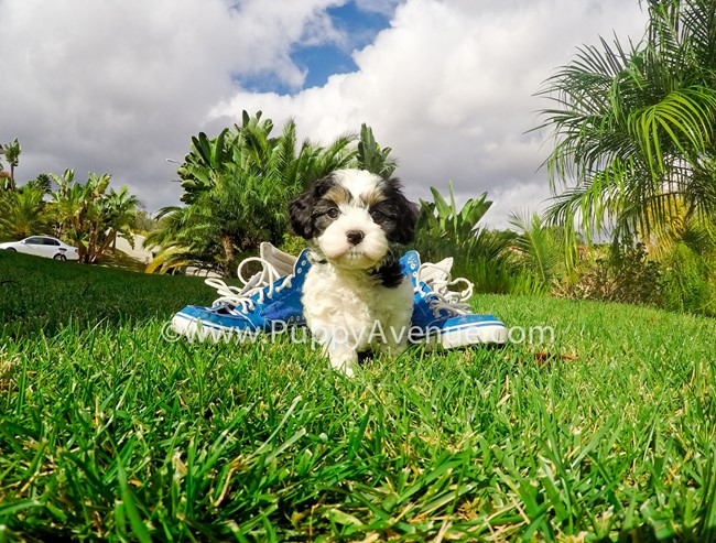 Skittles is our adorable CavaChon Hybrid Female Puppy 11