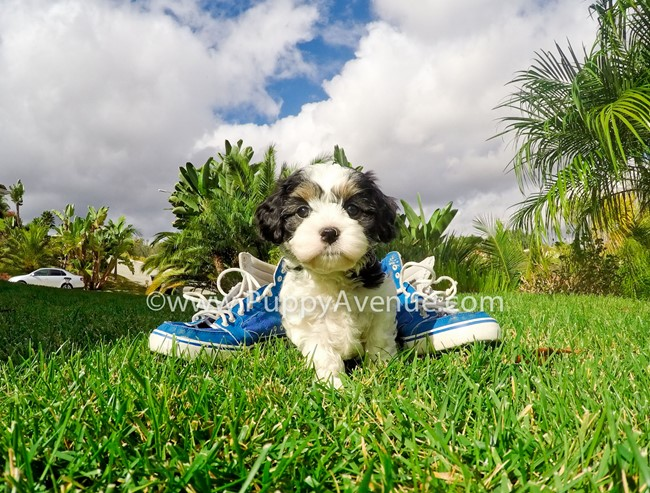 Skittles is our adorable CavaChon Hybrid Female Puppy 12