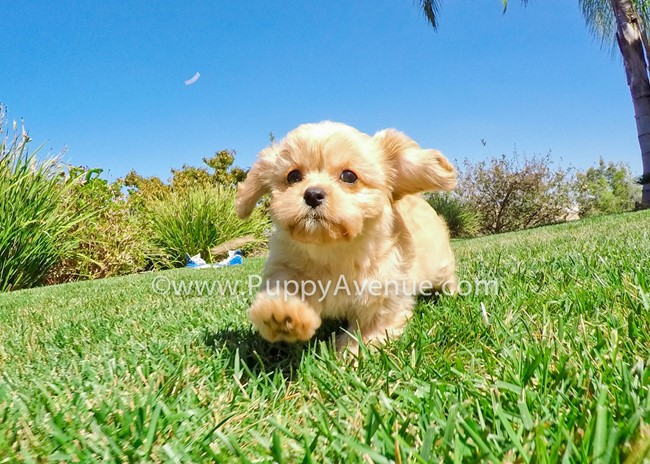 Valentina is our perfect CavaPoo Hybrid Female Puppy 1