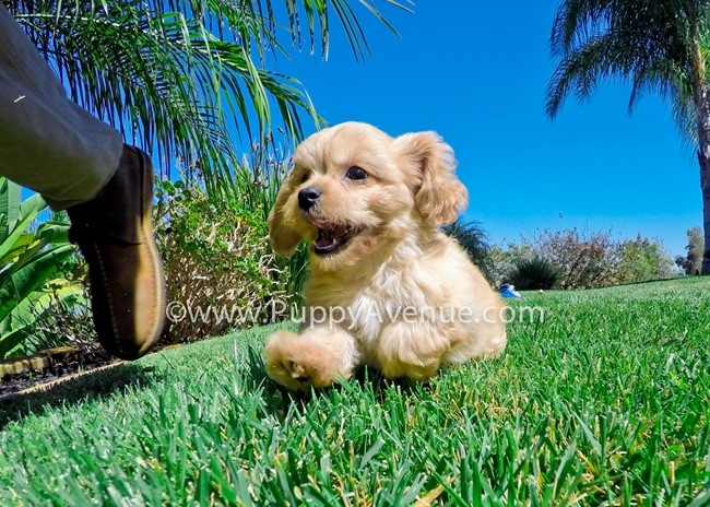 Valentina is our perfect CavaPoo Hybrid Female Puppy 2