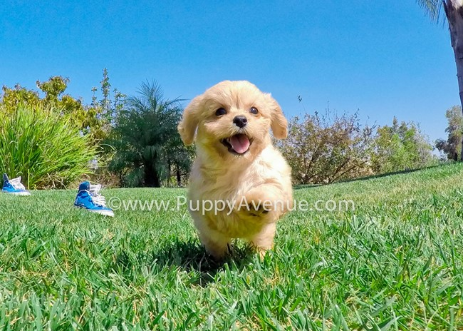 Valentina is our perfect CavaPoo Hybrid Female Puppy 3