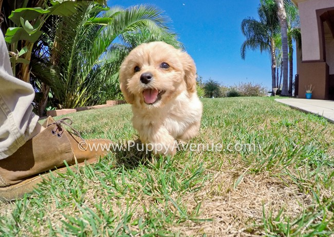Valentina is our perfect CavaPoo Hybrid Female Puppy 4