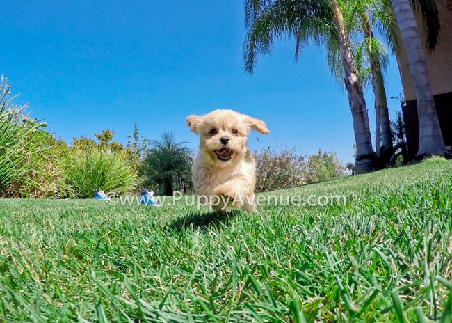 Valentina is our perfect CavaPoo Hybrid Female Puppy 5