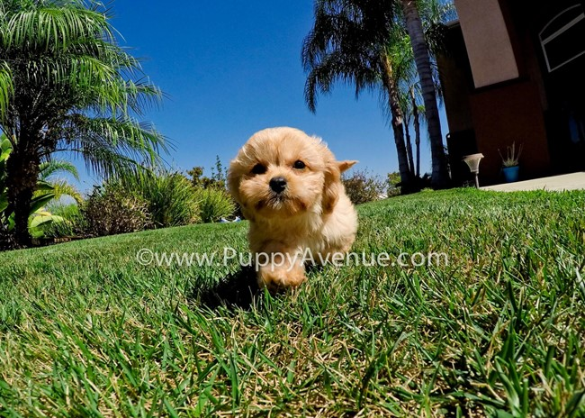 Valentina is our perfect CavaPoo Hybrid Female Puppy 6