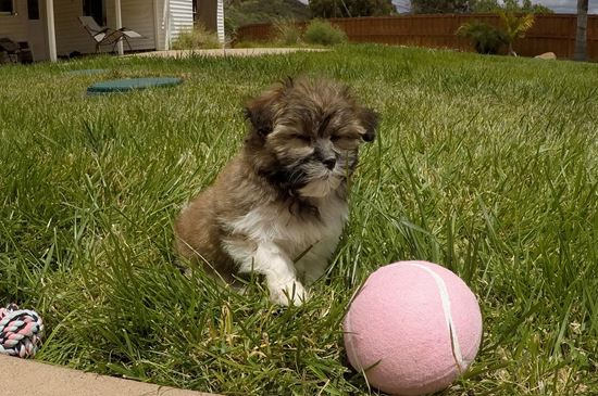 Adorable female AKC Havanese puppy!! - 10 week old Havanese