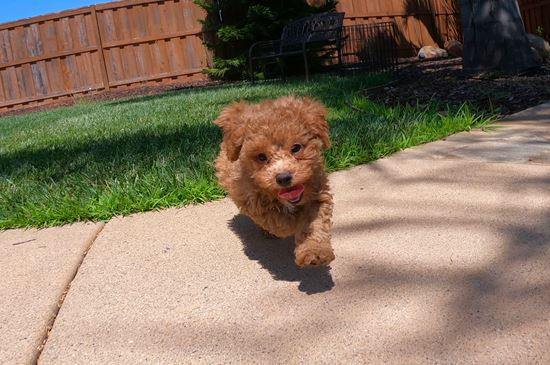 PERFECT male CavaPoo puppy! - 12 week old Cava Poo