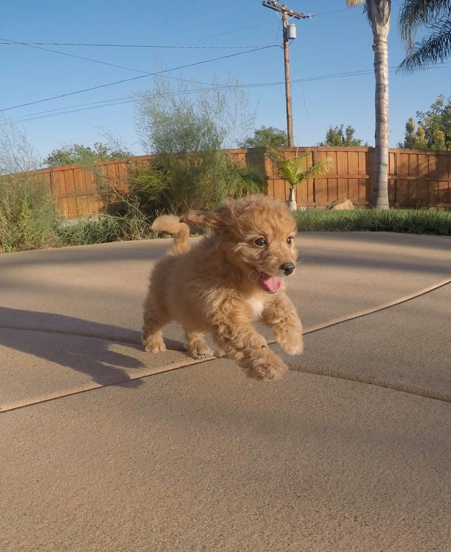 Cute female CavaPoo designer puppy!! 11