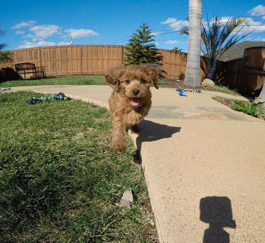 PERFECT CavaPoo designer puppy! 5