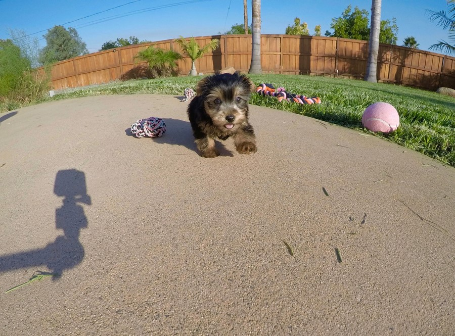 PERFECT female AKC Yorkie puppy! 8