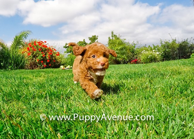 Dior is our Stunning CavaPoo Hybrid Female Puppy 2