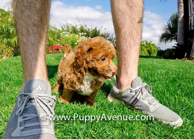 Dior is our Stunning CavaPoo Hybrid Female Puppy 3