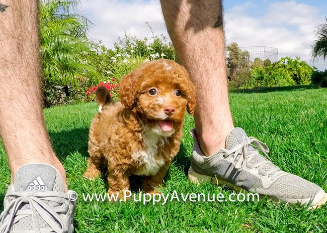 Dior is our Stunning CavaPoo Hybrid Female Puppy 1
